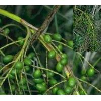 Wholesale for Impotence/ prostate health Saw Palmetto Fruit Extract Fatty Manufactures