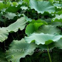 China Lotus Leaf Extract wholesale
