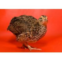 China Broiler Quail Grower Feed wholesale