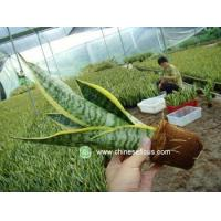 China Ficus Microcarpa Sansevieria,rootted wholesale