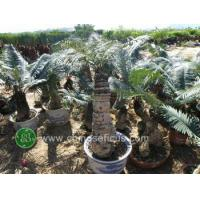 China Ficus Microcarpa PB110228 wholesale
