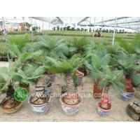 China Ficus Microcarpa P4060391 wholesale