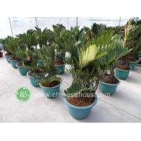 China Ficus Microcarpa PB030809 wholesale