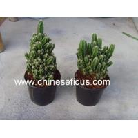 China Ficus Microcarpa Cereus hildmannianus 'Fairy castle' wholesale
