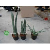 China Ficus Microcarpa Sansevieria cylindrica wholesale