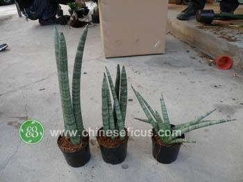 Quality Ficus Microcarpa Sansevieria cylindrica for sale