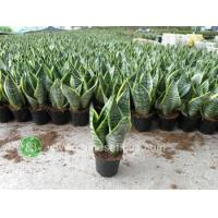 China Ficus Microcarpa Sansevieria Superba wholesale