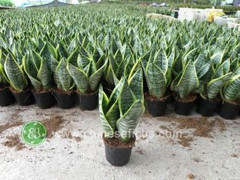 Quality Ficus Microcarpa Sansevieria Superba for sale