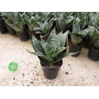 China Ficus Microcarpa Green Hahnii wholesale