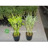 China Ficus Microcarpa Dracaena sanderiana,braided and potted wholesale
