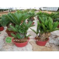 China Ficus Microcarpa cycas multihead,small size wholesale