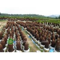 China Ficus Microcarpa cycas,potted,without leaves wholesale