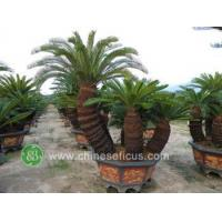 China Ficus Microcarpa cycas multi trunks, 120cm pot wholesale