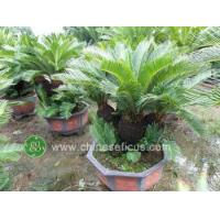 China Ficus Microcarpa cycas multihead wholesale