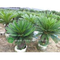 China Ficus Microcarpa PB140062 wholesale