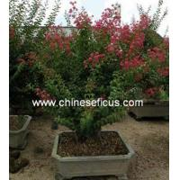 China Ficus Microcarpa Lagerstroemia Indica wholesale