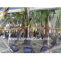 China Ficus Microcarpa Neodypsis decaryi Jumelle wholesale
