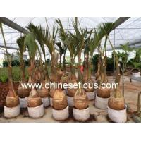 China Ficus Microcarpa Hyophorbe lagenicaulis wholesale