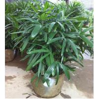 China Ficus Microcarpa Rhapis excelsa wholesale