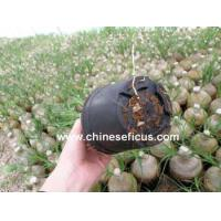 China Ficus Microcarpa Nolina with roots wholesale