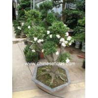 China Bonsai plants Gardenia jasminoides wholesale